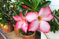De roze Woestijn nam of de bloem van de Impalalelie toe Stock Fotografie
