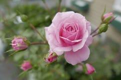 De roze zomer nam met knoppen toe Stock Fotografie