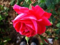 De rozen, de rozen, Rode rozen, rode A namen, bloem toe Royalty-vrije Stock Afbeeldingen