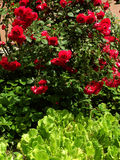 De rozen en de salade doorbladeren Royalty-vrije Stock Afbeeldingen
