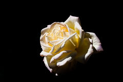de rozen, kunnen als groetkaart, uitnodigingskaart voor huwelijk worden gebruikt, Stock Afbeeldingen