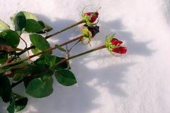 De rozen liggen in de sneeuw stock afbeelding