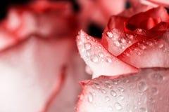 De rozen sluiten omhoog Mooie rozen op donkere achtergrond Royalty-vrije Stock Afbeeldingen