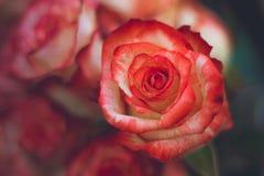 De rozen van bloemen Royalty-vrije Stock Foto