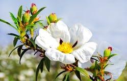 De rozen van de gomrots - Cistus ladanifer royalty-vrije stock afbeelding