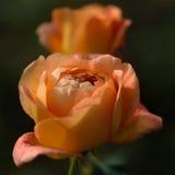 De rozen van de perzikkleur sluiten omhoog vierkante samenstelling Royalty-vrije Stock Afbeelding