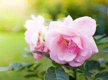 De rozen van de tuin Stock Fotografie
