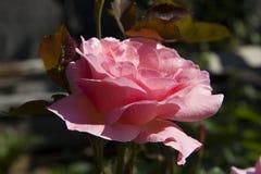 De rozen van het bloempark Stock Foto
