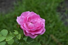 De rozen worden geplant in de tuin voor het huis De roze bloemen kijken mooi stock afbeelding