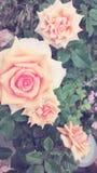 De rozen zijn een symbool van liefde royalty-vrije stock fotografie