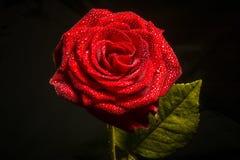 De rozen zijn rood Royalty-vrije Stock Fotografie