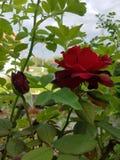De rozen zijn rood Stock Afbeelding