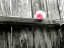 De rozen zijn Roze Stock Afbeelding