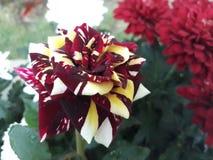 De rozen zijn vers en bloeiend stock foto's