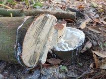 De rubberboom wordt gesneden wegens dalende prijzen Royalty-vrije Stock Fotografie