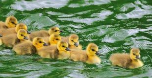De Rug van de Baby van de vogel naar huis Royalty-vrije Stock Foto's