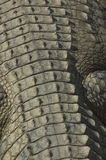 De rug van de krokodil Royalty-vrije Stock Foto