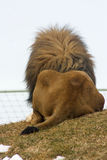 De rug van de leeuw Stock Afbeeldingen