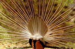 De rug van de pauw stock afbeeldingen