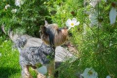 De ruikende bloemen van de hond Stock Foto