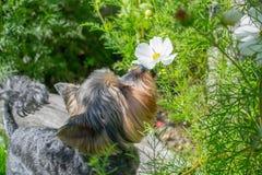 De ruikende bloemen van de hond Stock Foto's