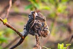 De rupsbanden weven een Web op fruitboom in de vroege lente stock foto's