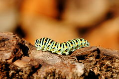De rupsbandstadium van Papilio machaon Stock Afbeeldingen