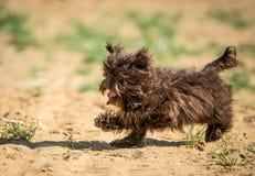 De Russische hond van de kleurenoverlapping voor een gang Stock Foto's