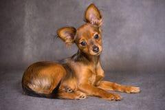 De Russische Hond van het Stuk speelgoed Stock Foto
