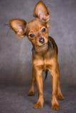 De Russische Hond van het Stuk speelgoed Royalty-vrije Stock Fotografie