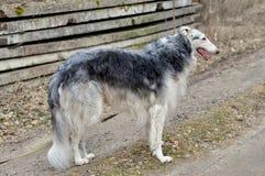 De Russische windhond is een hond, beste vriend royalty-vrije stock afbeelding