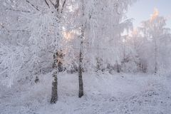 De Russische winter De winter Forest Landscape In Pink Tones Van de Berkforestbeautiful van de ochtendwinter de Winterberk Forest Royalty-vrije Stock Fotografie