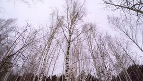 De Russische winter - het Bosje van de Berk April Birch Grove Zwart-wit Espbos in de winter Berkbosje in Sunny Winter stock videobeelden