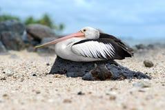 De rust van de pelikaan op een rots Royalty-vrije Stock Fotografie