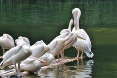De rust van pelikanen en ontspant Royalty-vrije Stock Foto's