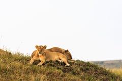 De rust van twee leeuwwelpen op de heuvel Masai Mara Stock Foto