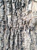 De rustieke textuur van de boomschil Royalty-vrije Stock Foto's