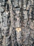 De rustieke textuur van de boomschil Stock Foto's