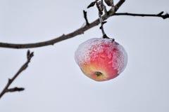De rustige landelijke scène van snowcapped rijpe die appelen met dikke sneeuw worden behandeld hangt op een tak stock foto's