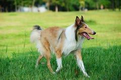 De ruwe hond van de collie Royalty-vrije Stock Afbeelding