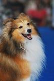 De ruwe Hond van de Collie Royalty-vrije Stock Foto's