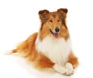 De ruwe hond van de Collie Stock Afbeelding