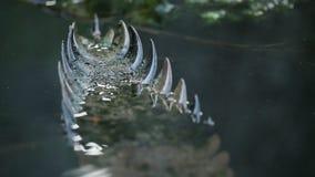De ruwe rug van de Gharialkrokodil en staart, India stock footage