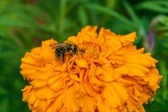 De ruwharige bij verzamelt een nectar Stock Foto's