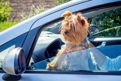 De ruwharige hond de meer rerrier blikken van rassenyorkshire van de auto wint royalty-vrije stock afbeelding