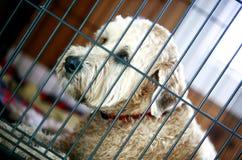 De Ruwharige Hond van de redding Stock Afbeeldingen