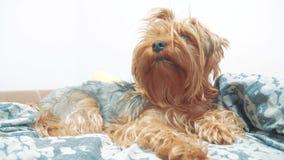 De ruwharige terriër die van hondyorkshire op het bed liggen langzame geanimeerde video ruwharige hond van de huisdieren de oude  stock videobeelden