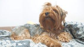 De ruwharige terriër die van hondyorkshire op het bed liggen langzame geanimeerde video levensstijl van de huisdieren de oude ruw stock videobeelden