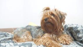 De ruwharige terriër die van hondyorkshire op het bed liggen langzame geanimeerde video de oude ruwharige hond van de huisdierenl stock video
