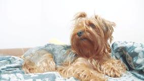 De ruwharige terriër die van hondyorkshire op het bed liggen langzame geanimeerde video de oude ruwharige hond van het levensstij stock video